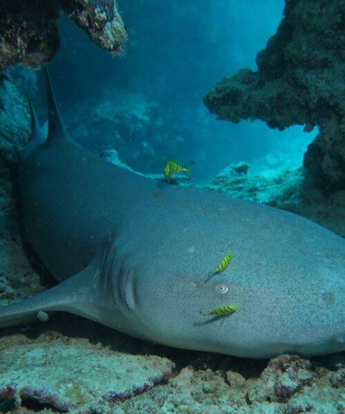 Requin_Dormeur_Mayotte_Alex_EYNARD