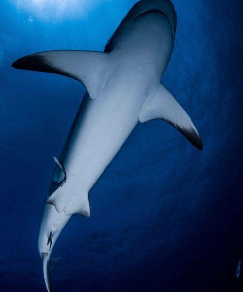 Requin_Mayotte_Alex_EYNARD